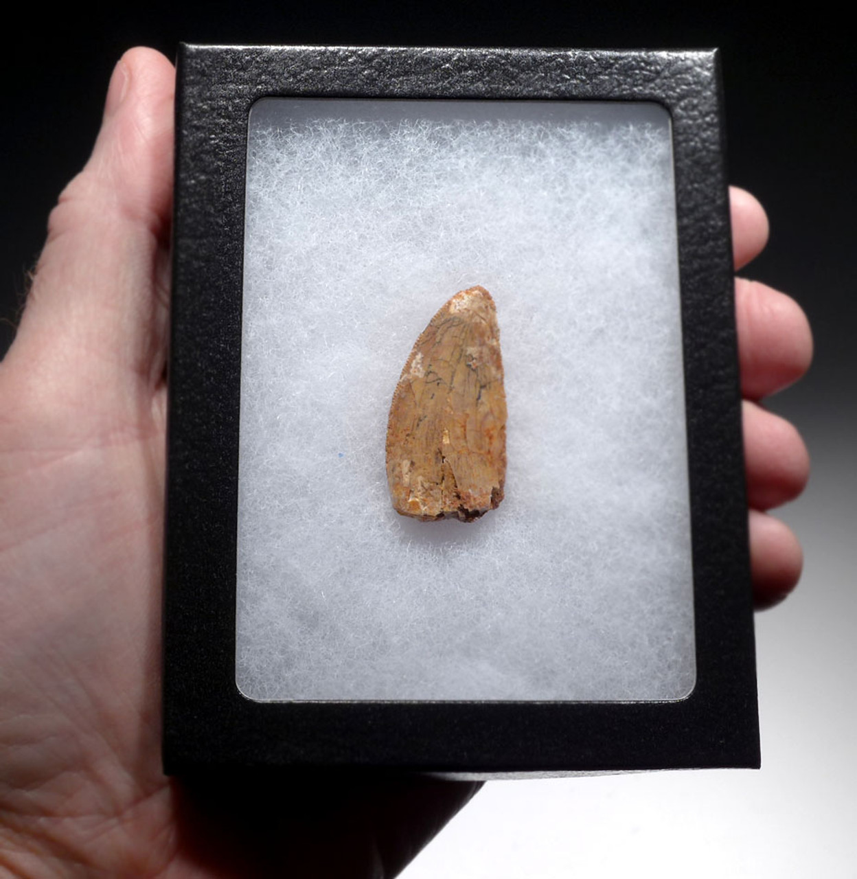 AFFORDABLE CARCHARODONTOSAURUS FOSSIL TOOTH FROM THE LARGEST MEAT-EATING DINOSAUR  *DT2-116