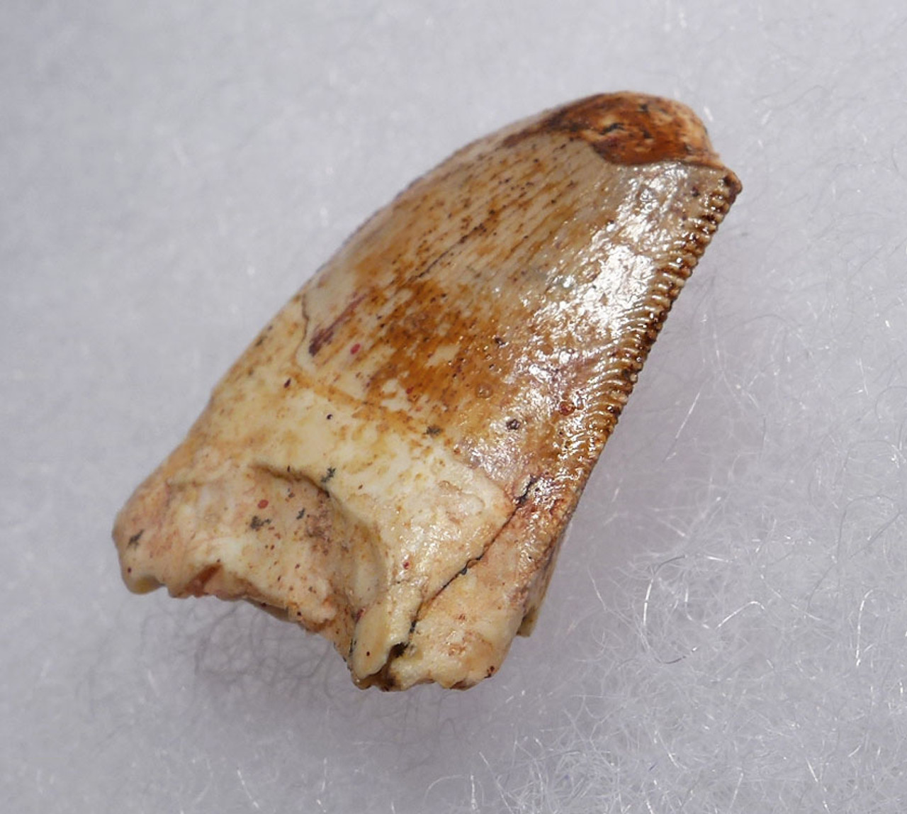 POSTERIOR CARCHARODONTOSAURUS FOSSIL DINOSAUR TOOTH FROM THE BACK OF THE JAW  *DT11-043