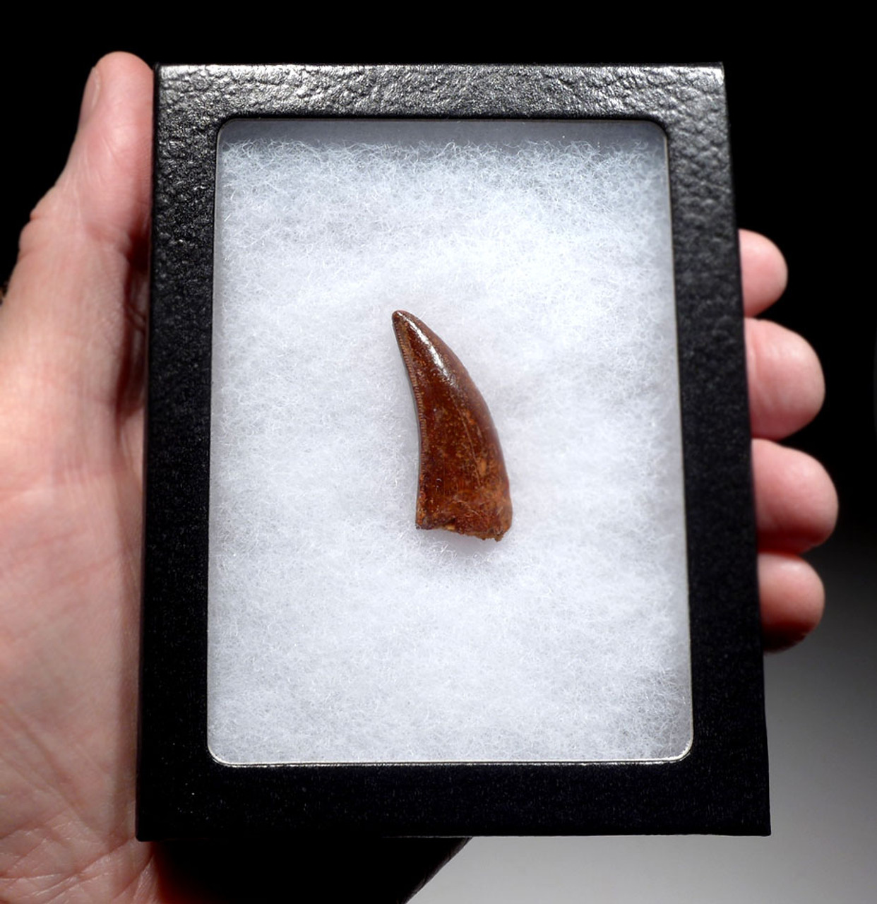 FINEST GRADE UNBROKEN DELTADROMEUS DINOSAUR TOOTH FROM THE FRONT OF JAW *DT11-044