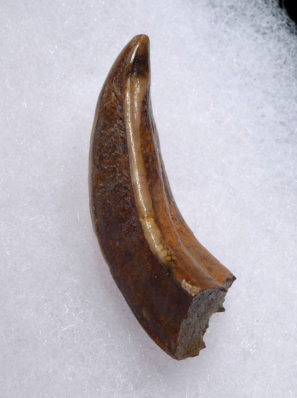 FOSSIL UPPER TUSK FROM A EUROPEAN ICE AGE WILD BOAR  *LMX245