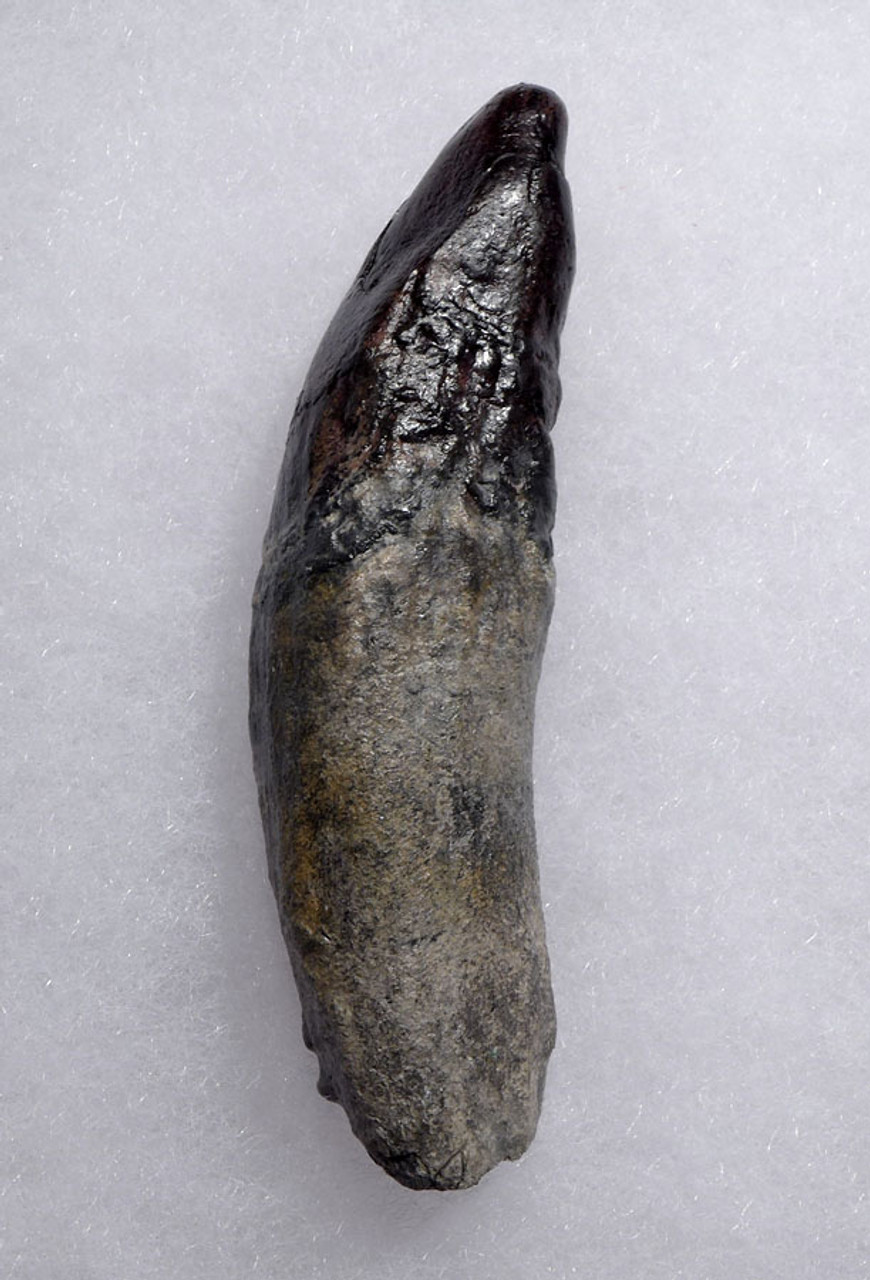 COMPLETE FOSSIL PHYSETER SPERM WHALE TOOTH WITH ROOT *WH051
