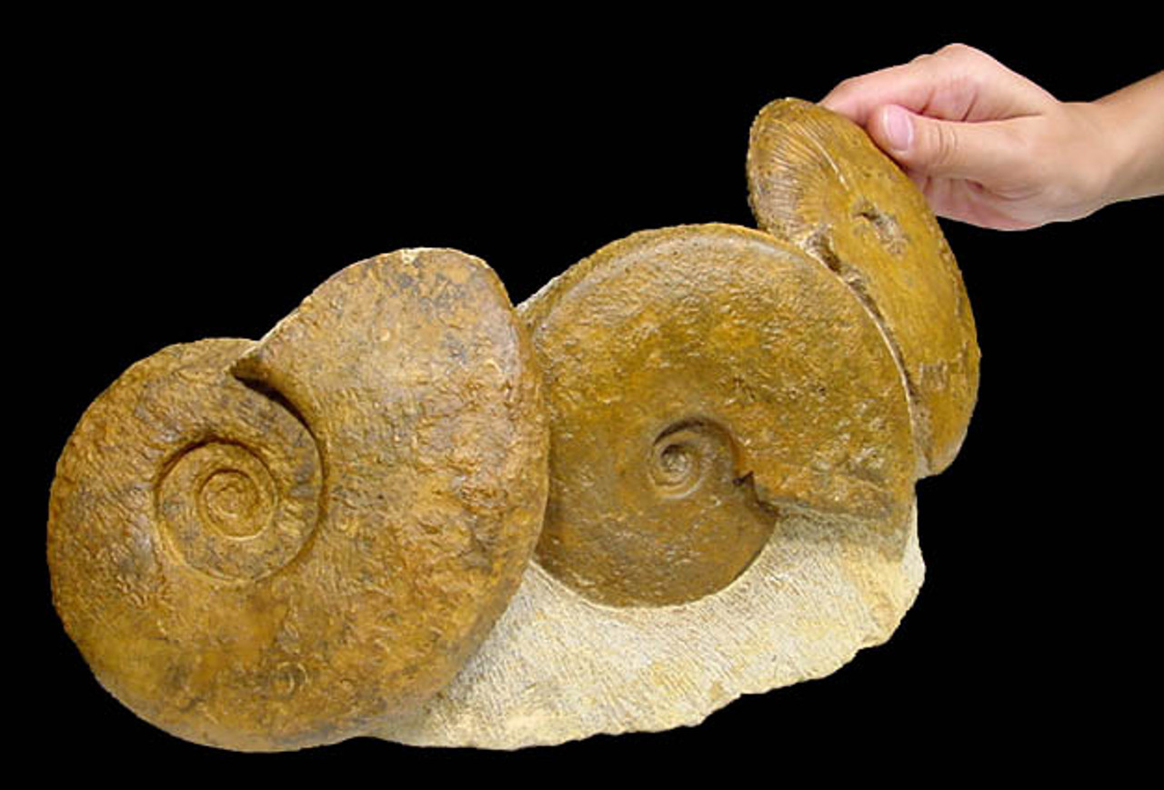 LARGE JURASSIC AMMONITE FOSSIL GROUP *AMX-070
