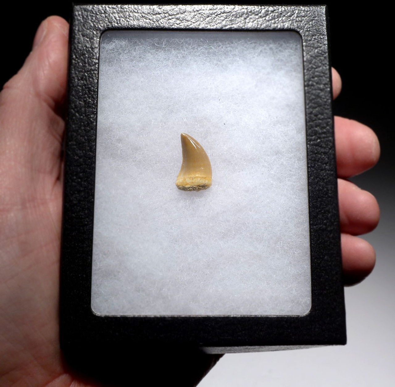 HALISAURUS FOSSIL TOOTH FROM A MOSASAUR MARINE REPTILE *DT1-141