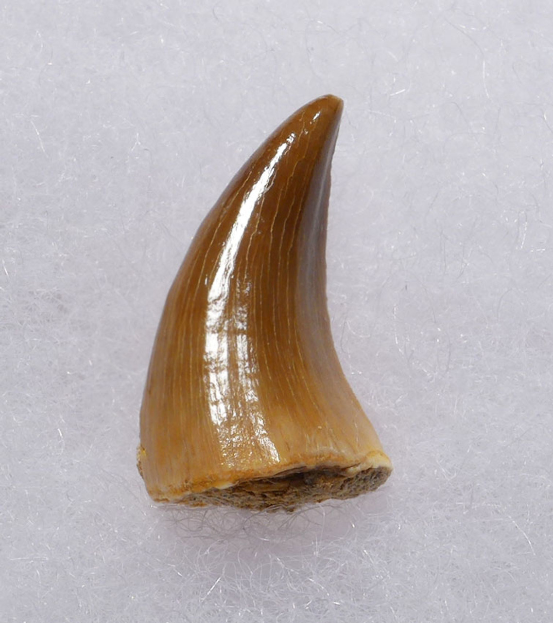 MOSASAUR FOSSIL TOOTH FROM A HALISAURUS MARINE REPTILE *DT1-139
