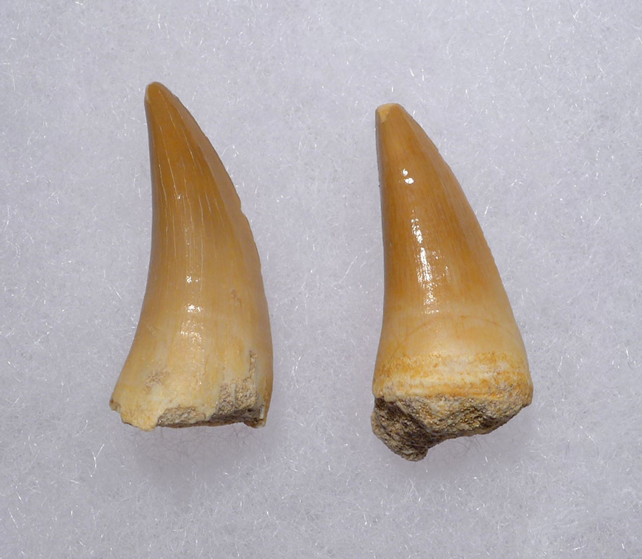 TWO MOSASAUR FOSSIL TEETH FROM A HALISAURUS MARINE REPTILE *DT1-134