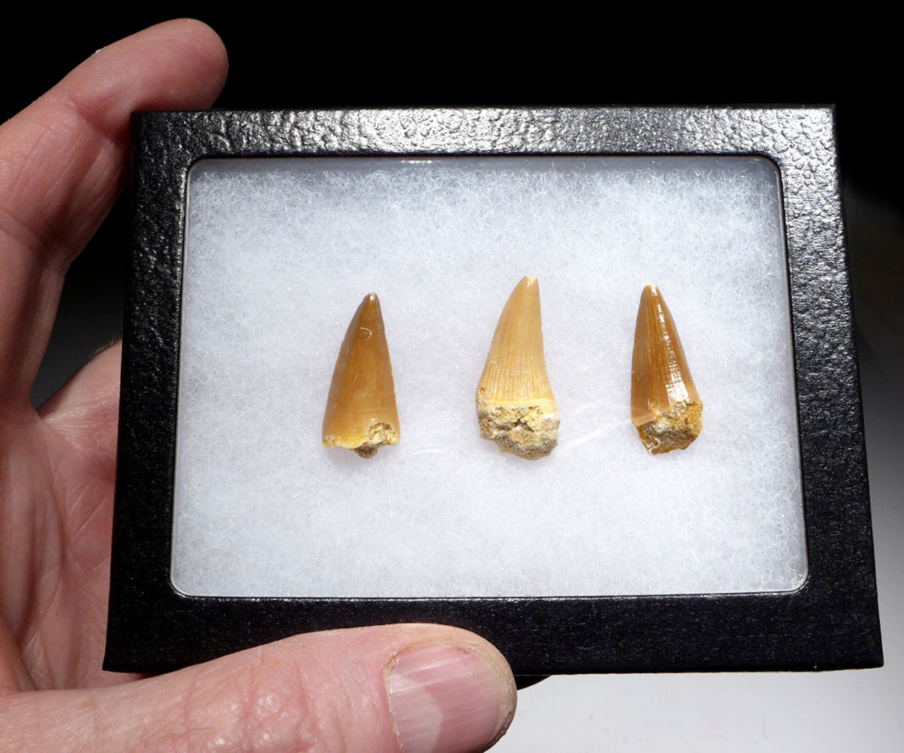 THREE MOSASAUR FOSSIL TEETH FROM A HALISAURUS MARINE REPTILE *DT1-133