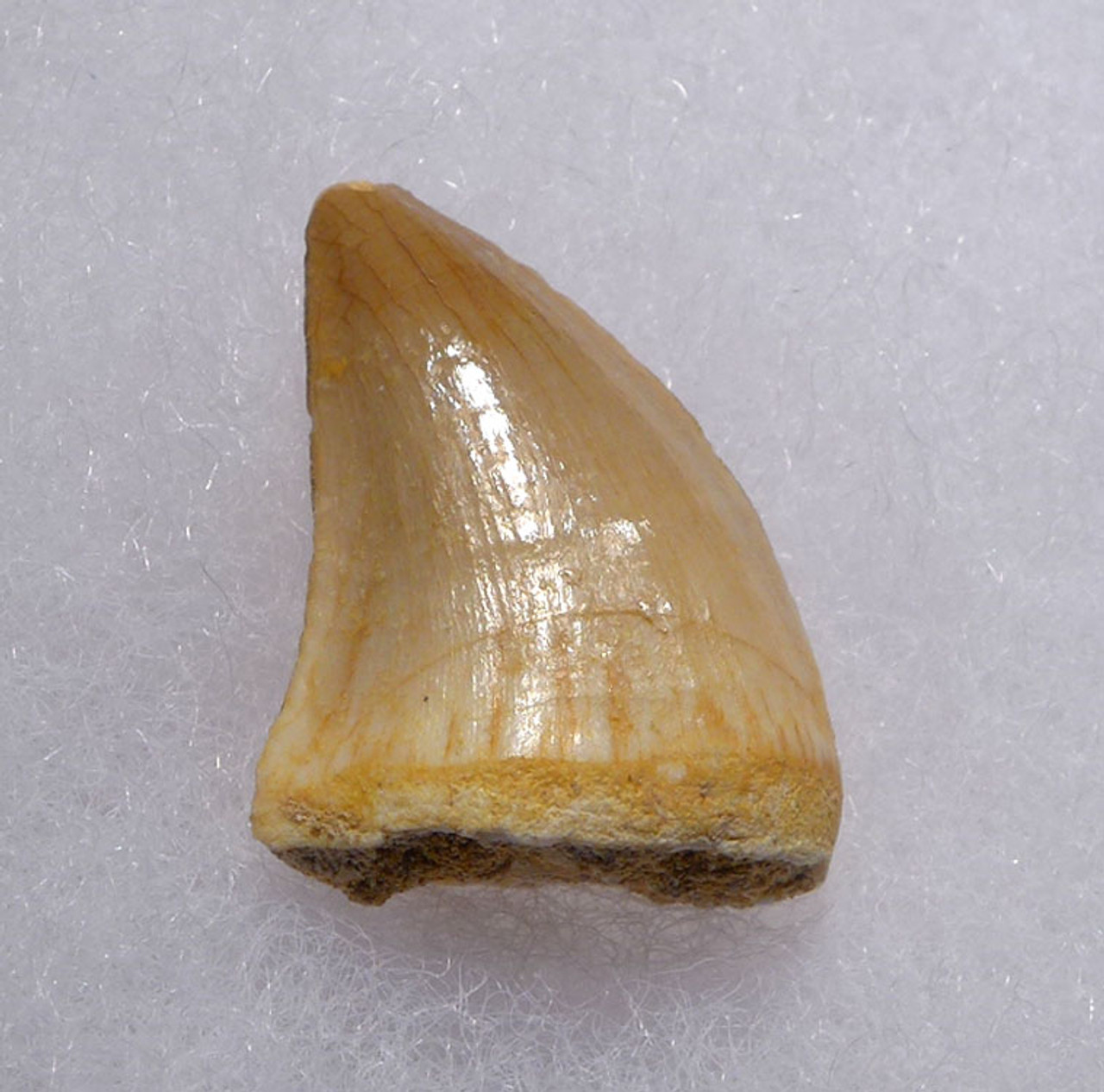 MOSASAUR FOSSIL TOOTH PREHISTORIC MARINE REPTILE *DT1-140