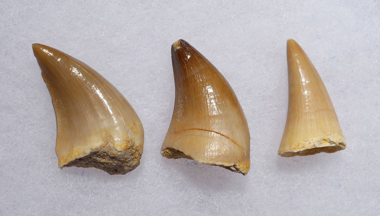 THREE FOSSIL MOSASAUR TEETH FROM A PREHISTORIC MARINE REPTILE *DT1-135