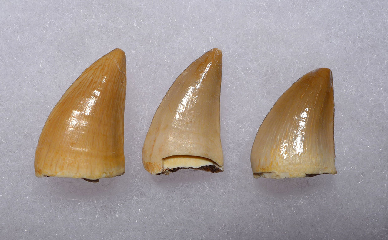 THREE MOSASAUR FOSSIL TEETH FROM A PREHISTORIC MARINE REPTILE *DT1-136