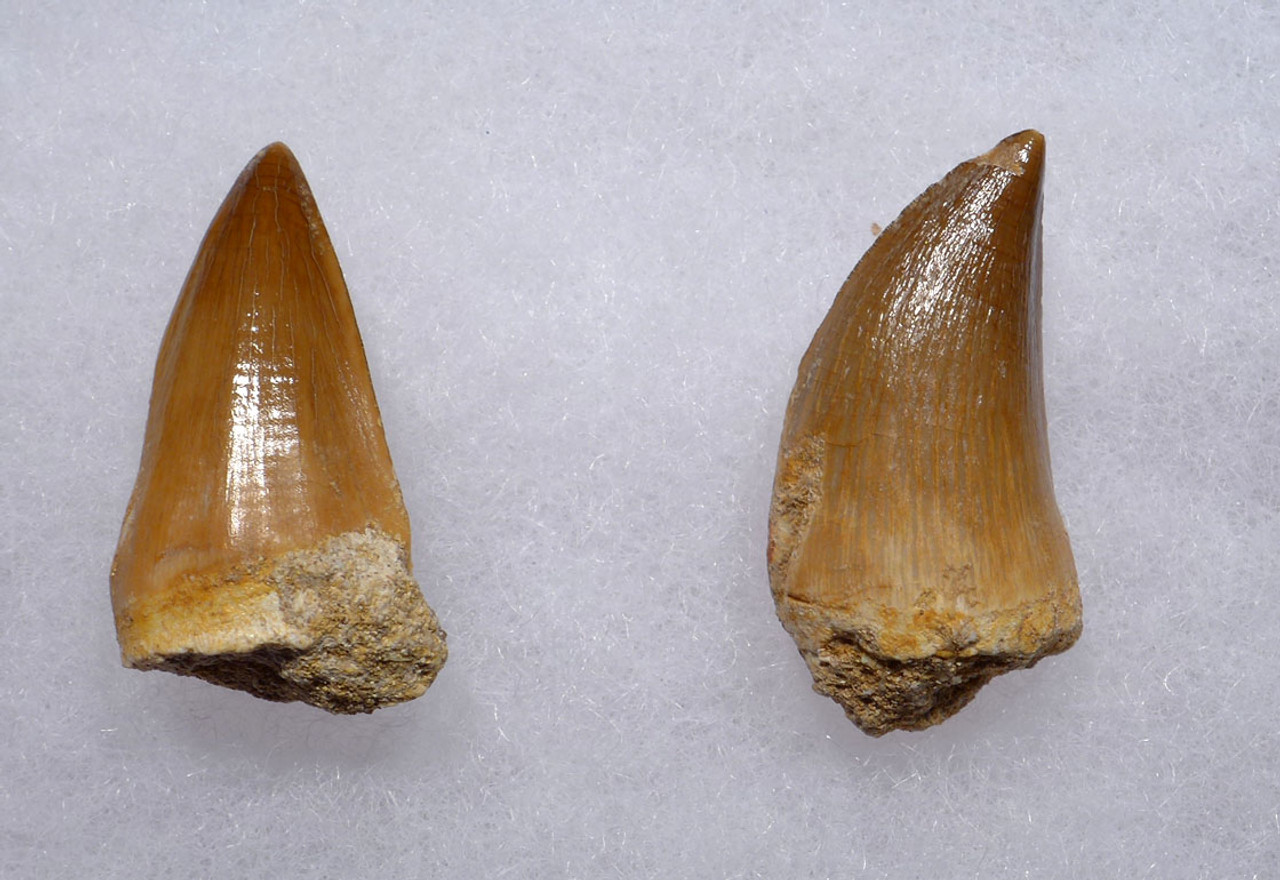 TWO PREMIUM FOSSIL MOSASAUR TEETH FROM A PREHISTORIC MARINE REPTILE *DT1-135