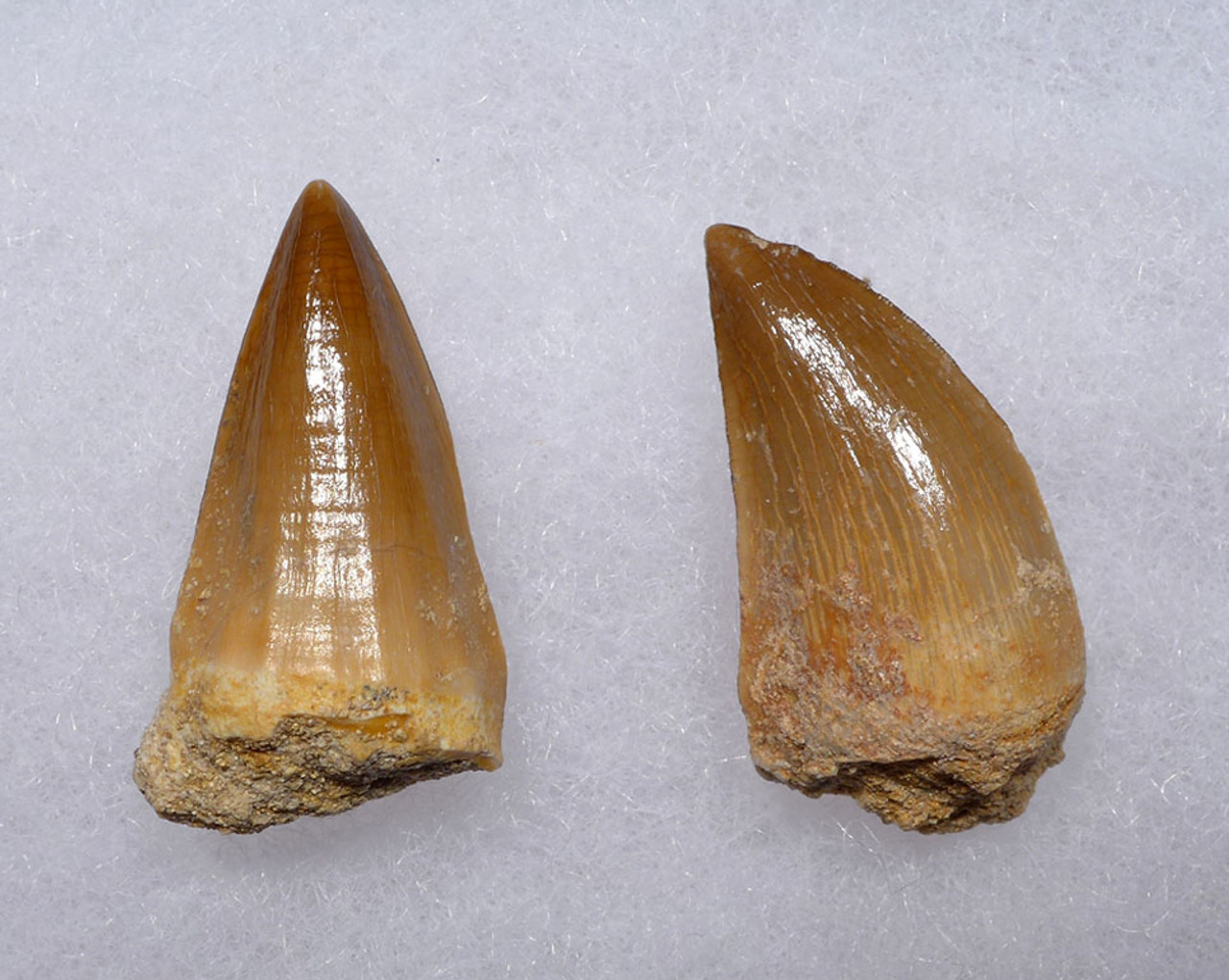 TWO PREMIUM FOSSIL MOSASAUR TEETH FROM A PREHISTORIC MARINE REPTILE *DT1-137