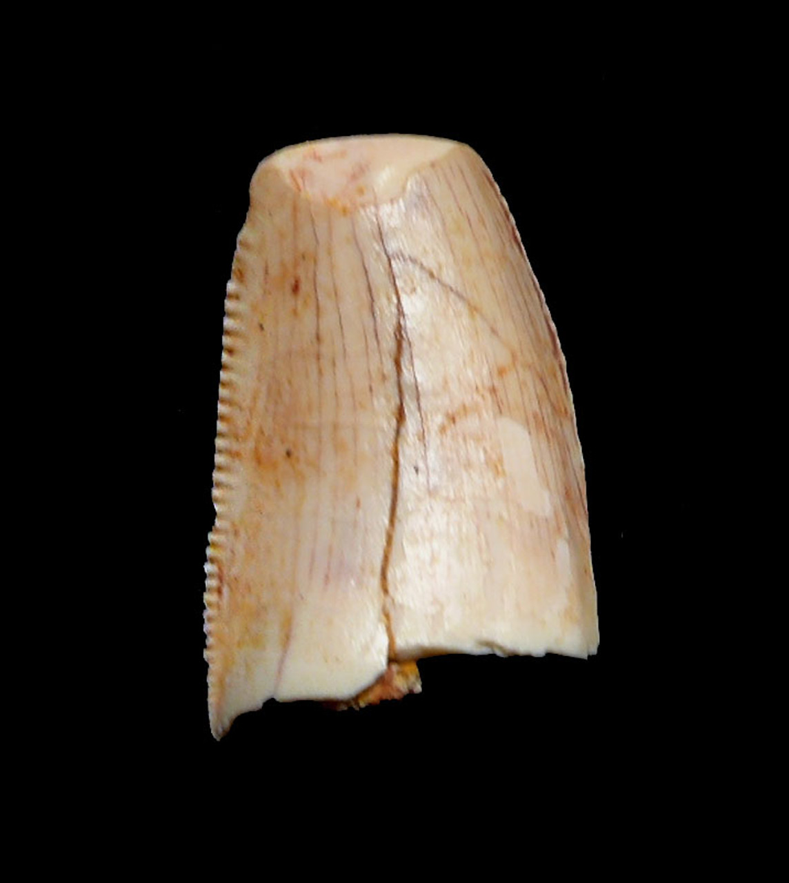 "WHITE DROMAEOSAUR "" RAPTOR "" DINOSAUR TOOTH WITH NATURAL FEEDING WEAR *DT6-318"