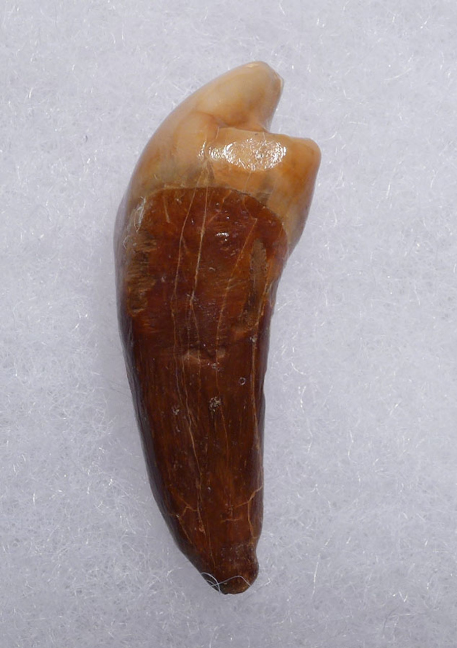 SUPERB CAVE BEAR FOSSIL INCISOR TOOTH FROM THE FAMOUS DRACHENHOHLE DRAGONS CAVE IN AUSTRIA  *LM40-185