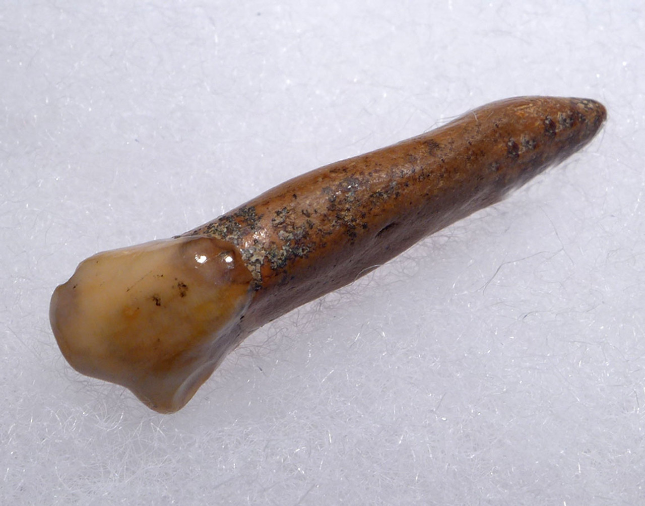 CAVE BEAR FOSSIL INCISOR TOOTH FROM THE FAMOUS DRACHENHOHLE DRAGONS CAVE IN AUSTRIA  *LM40-181