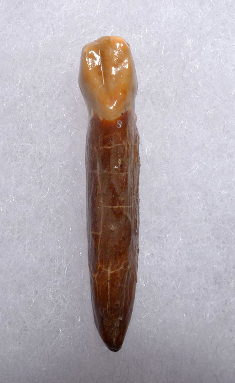 CAVE BEAR FOSSIL TOOTH WITH ROOT FROM THE FAMOUS DRACHENHOHLE DRAGONS CAVE IN AUSTRIA *LM40-179