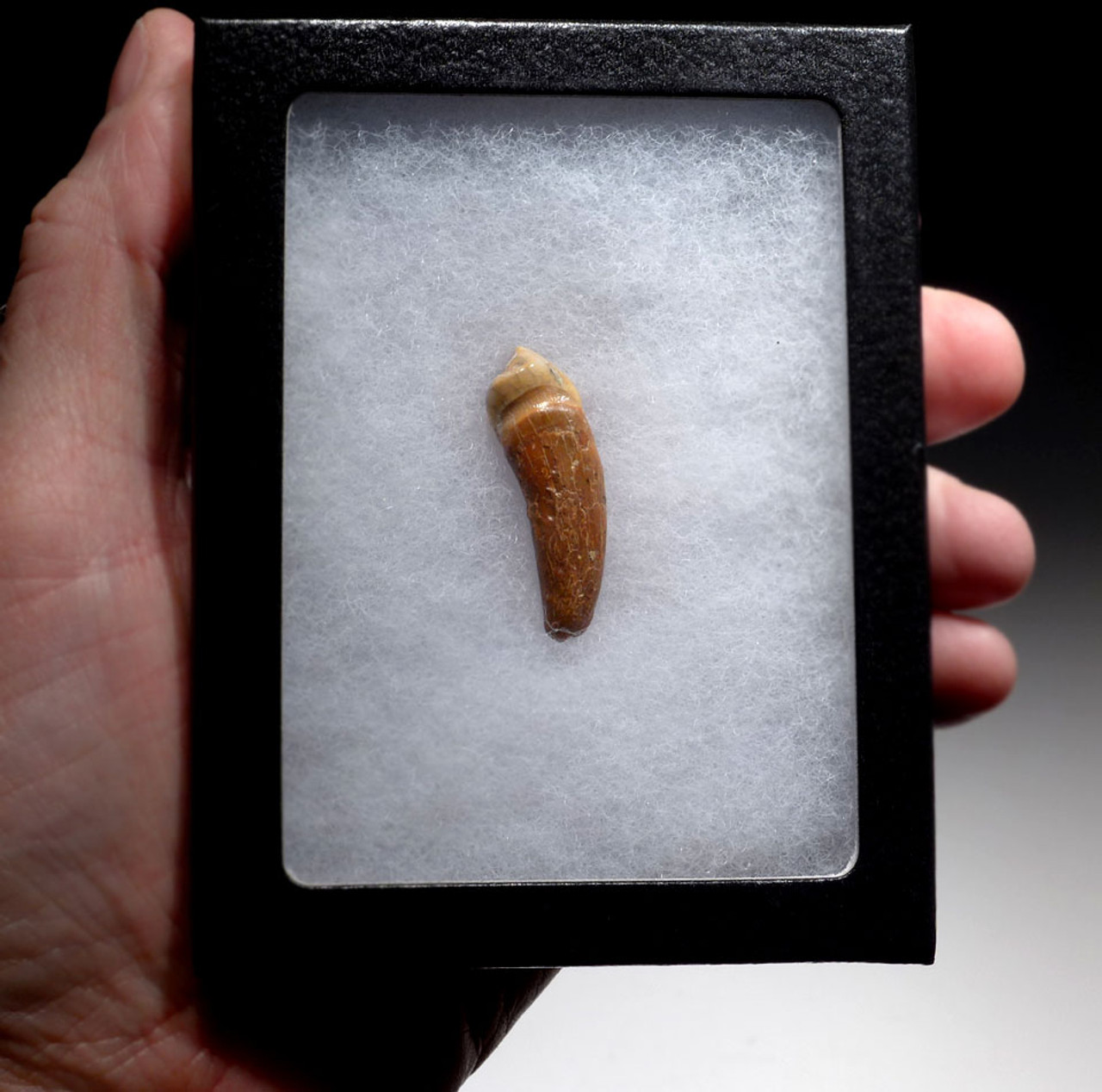 ROBUST CAVE BEAR FOSSIL TOOTH WITH ROOT FROM THE FAMOUS DRACHENHOHLE DRAGONS CAVE IN AUSTRIA *LM40-178