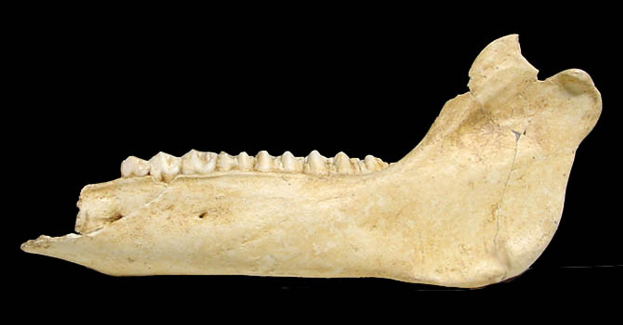 FOSSIL WILD BOAR JAW FROM A CAVE HYENA SITE IN THE ARDENNES FOREST BELGIUM  *LM41-001