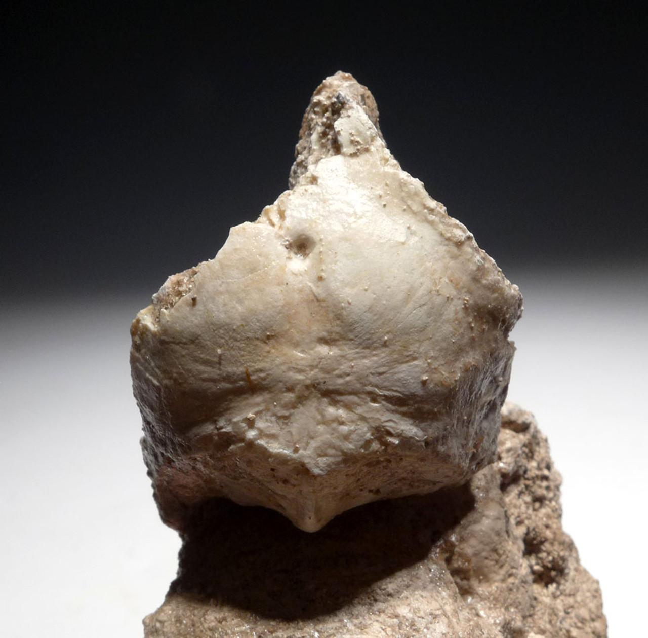 ULTRA RARE FOSSIL SKULL OF ODONTOPTERYX A PALEOCENE PSEUDOTOOTHED BIRD  *FB001