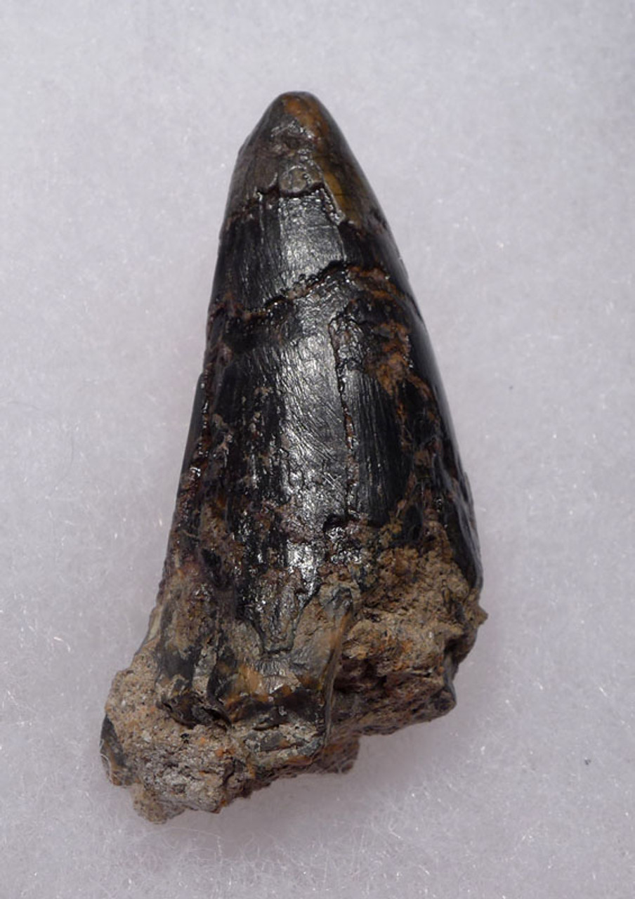 JAVA MAN KILLER CROCODILE FOSSIL TOOTH FROM FAMOUS HOMO ERECTUS DEPOSITS OF SOLO RIVER INDONESIA *CROC055
