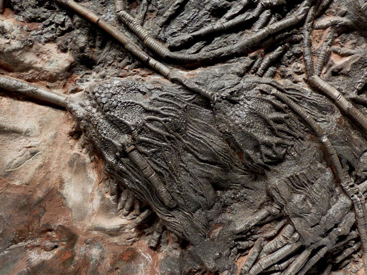 LARGE INTERIOR DESIGN CRINOID FOSSIL WITH PREHISTORIC SEA LILIES ANCIENT OCEAN FLOOR ROCK *CRI030