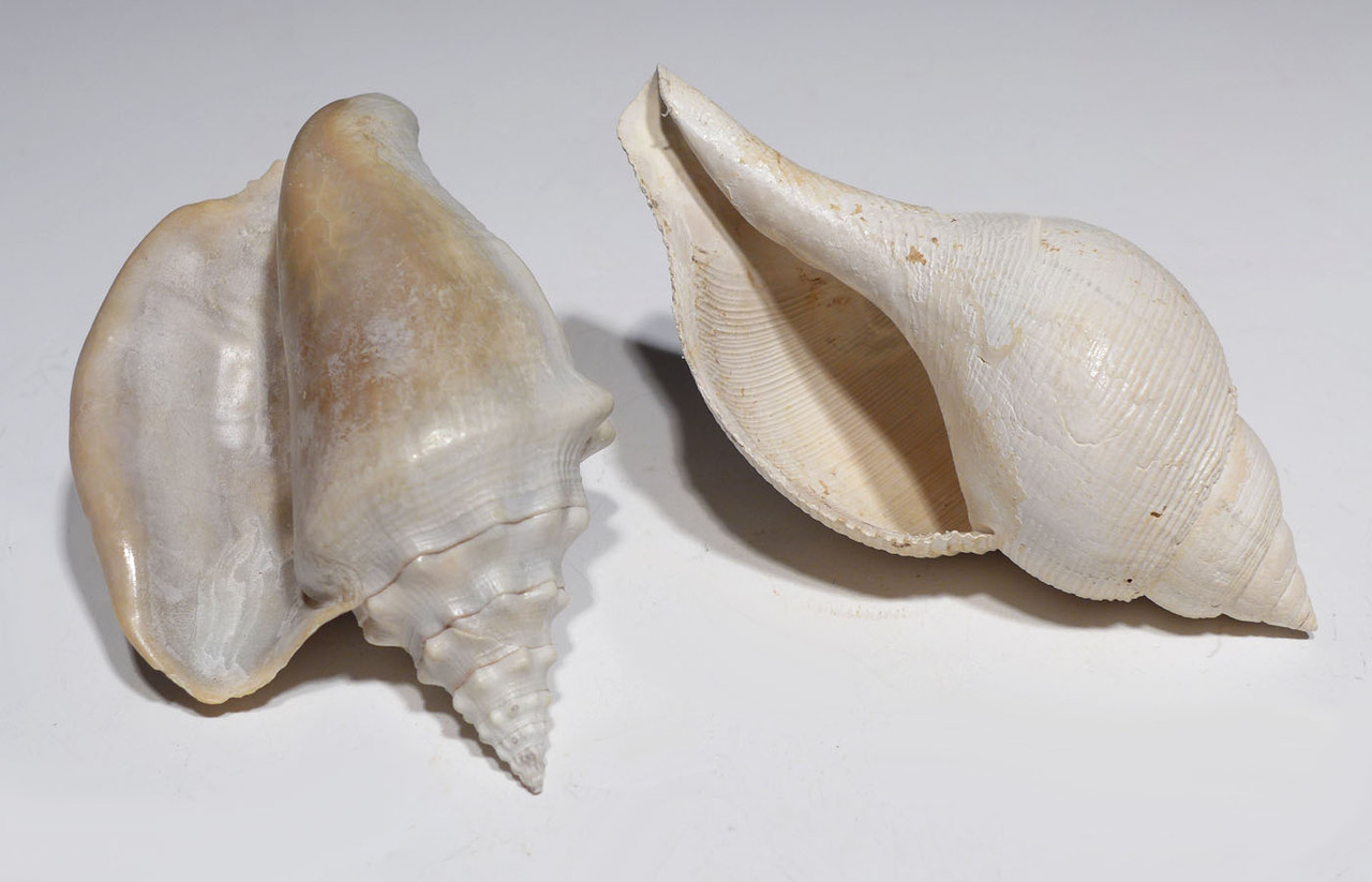 TWO SUPERB FOSSIL SHELLS FROM PREHISTORIC FASCIOLARIA AND STROMBUS  GASTROPODS  *GAP1