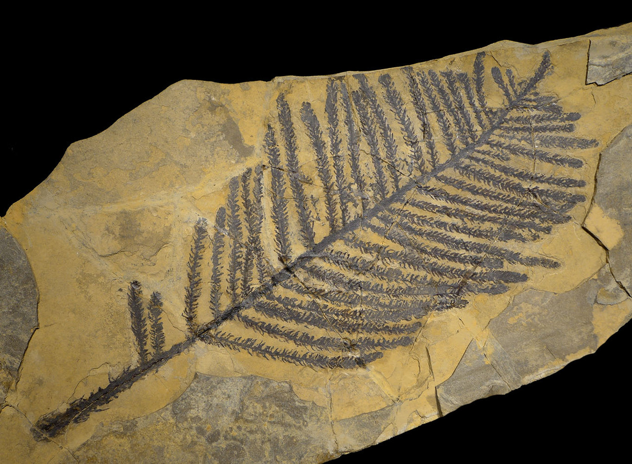 LARGEST RARE PERMIAN WALCHIA PLANT FOSSIL BRANCH FROM BEFORE THE DINOSAURS  *PLP2