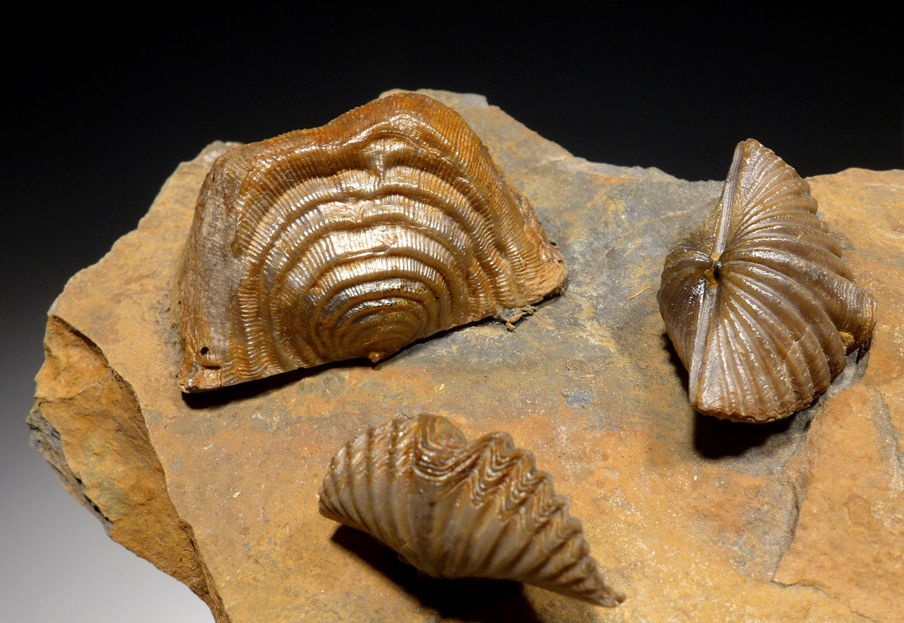 LEPTAENA AND MUCROSPIRIFER DEVONIAN BRACHIOPOD FOSSIL FROM HOLY CROSS MOUNTAINS  *BR029