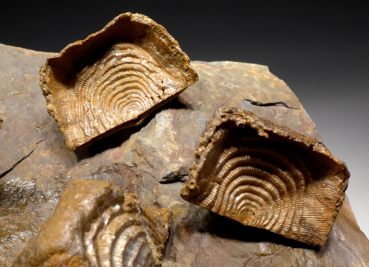 RARE LEPTAENA DEVONIAN BRACHIOPOD FOSSILS FROM HOLY CROSS MOUNTAINS  *BR012