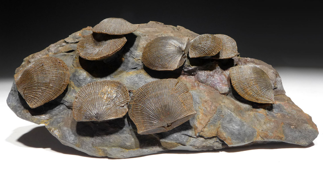 SCHELLWIENELLA DEVONIAN BRACHIOPOD FOSSIL COLONY FROM HOLY CROSS MOUNTAINS  *BR034