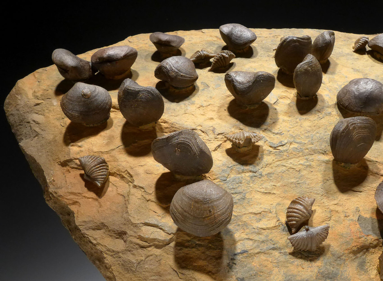 GIANT DEVONIAN BRACHIOPOD FOSSIL COLONY FROM SITE OF THE OLDEST TETRAPOD FOSSILS  *BR019