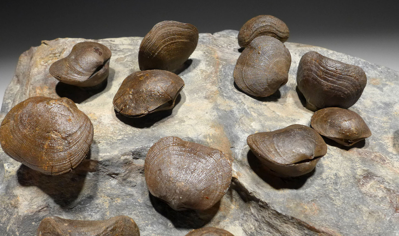 LARGE FOSSIL SCHIZOPHORIA DEVONIAN BRACHIOPOD COLONY FROM POLAND  *BR031