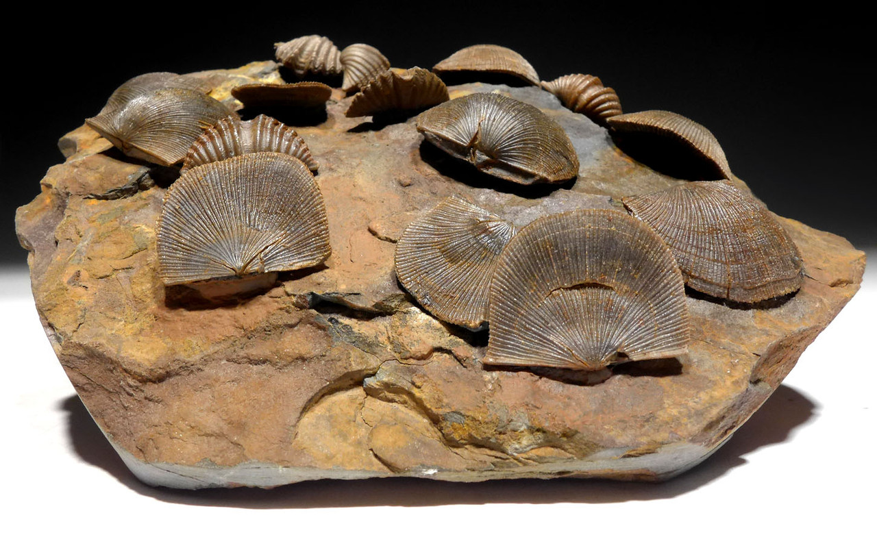 DEVONIAN BRACHIOPOD MUCROSPIRIFER AND SCHELLWIENELLA FOSSIL COLONY FROM HOLY CROSS MOUNTAINS  *BR021