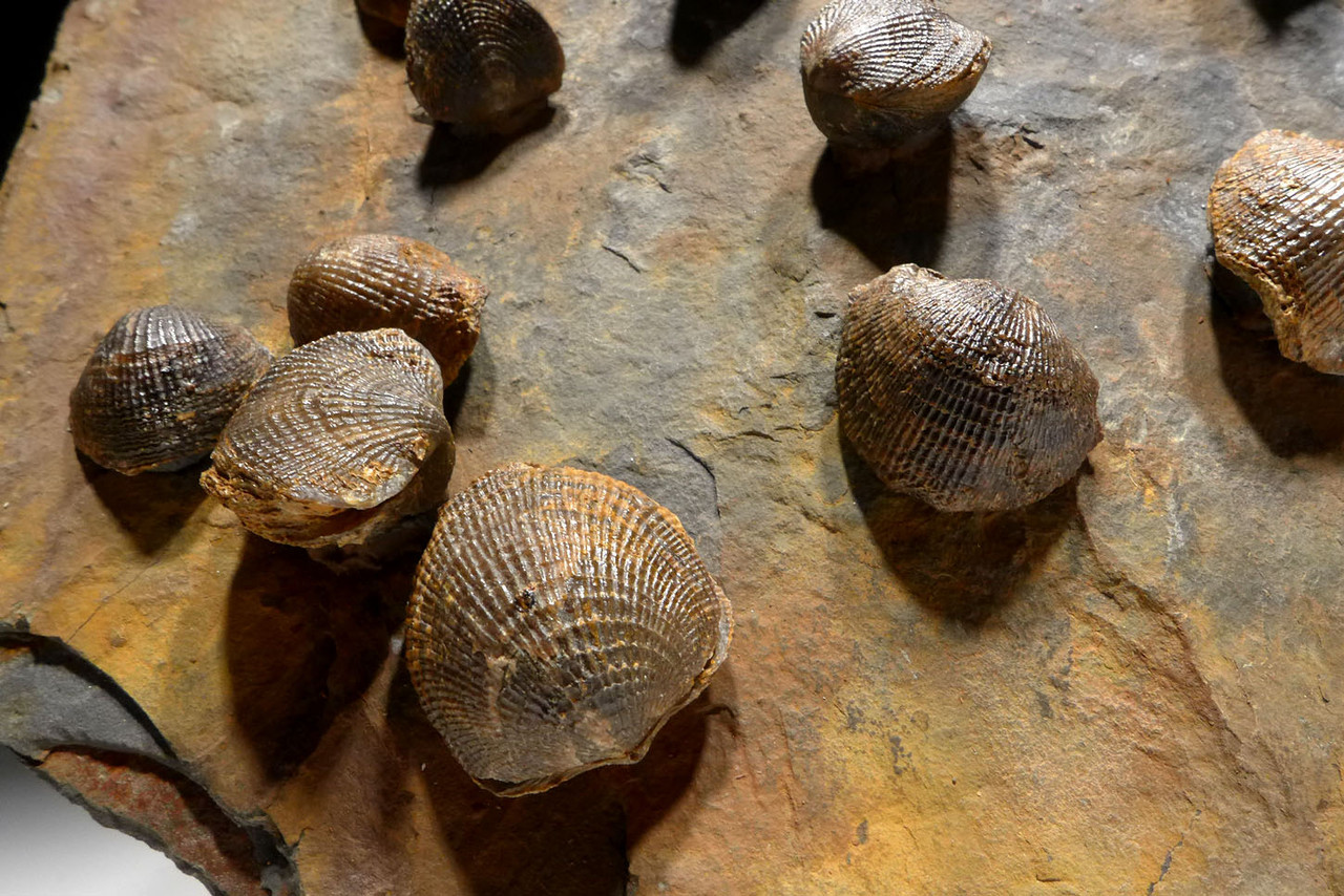 GIANT MUSEUM-DISPLAY ATRYPA DEVONIAN BRACHIOPOD COLONY FROM SITE OF OLDEST TETRAPOD FOOTPRINTS  *BR022