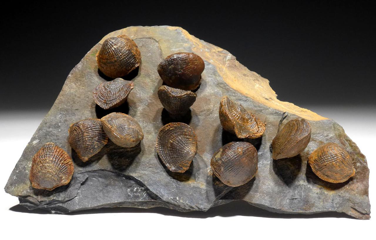 DEVONIAN ATRYPA BRACHIOPOD COLONY FROM SITE OF OLDEST TETRAPOD FOSSILS  *BR024