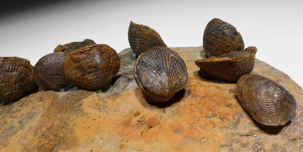 DEVONIAN ATRYPA BRACHIOPOD FOSSILS FROM SITE OF OLDEST TETRAPOD FOOTPRINTS  *BR033
