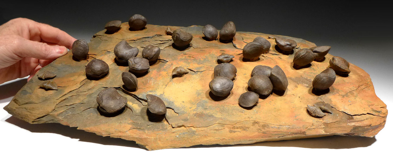 LARGE MUSEUM-CLASS DEVONIAN BRACHIOPOD FOSSIL COLONY FROM SITE OF THE OLDEST TETRAPOD FOOTPRINTS  *BR023