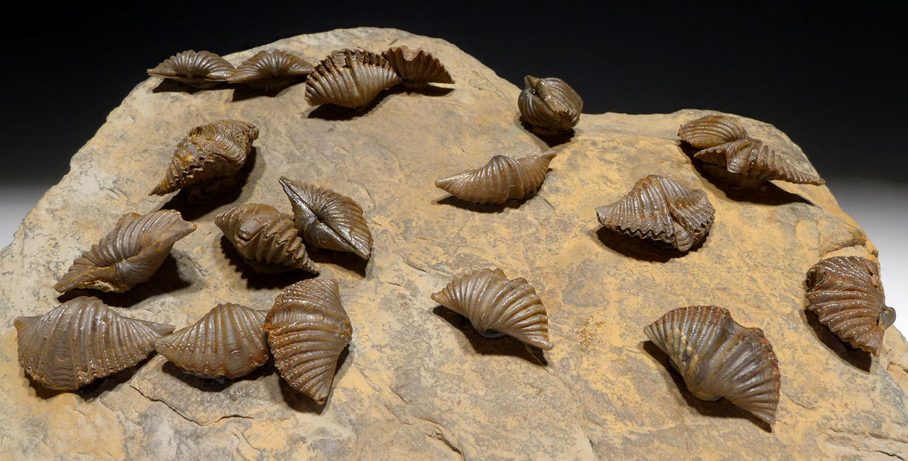 FINEST MUCROSPIRIFER DEVONIAN BRACHIOPOD FOSSIL COLONY FROM POLAND  *BR032