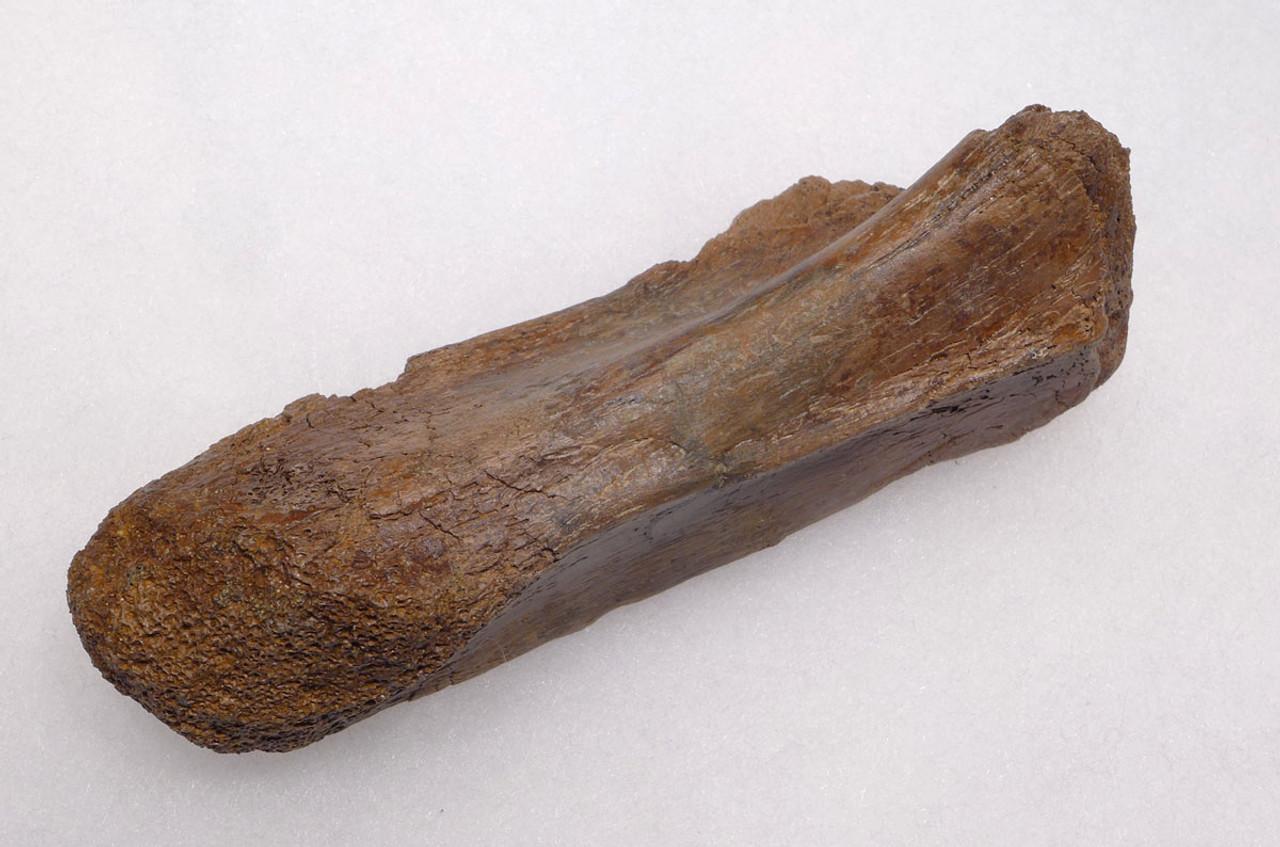 PACHYCEPHALOSAURUS METATARSAL FOSSIL DINOSAUR BONE  *DBX041