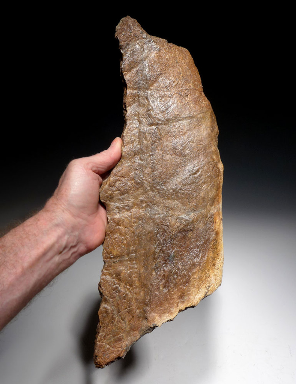 LARGE FOSSIL HEAD FRILL EDGE SECTION FROM A TRICERATOPS DINOSAUR  *DBX037