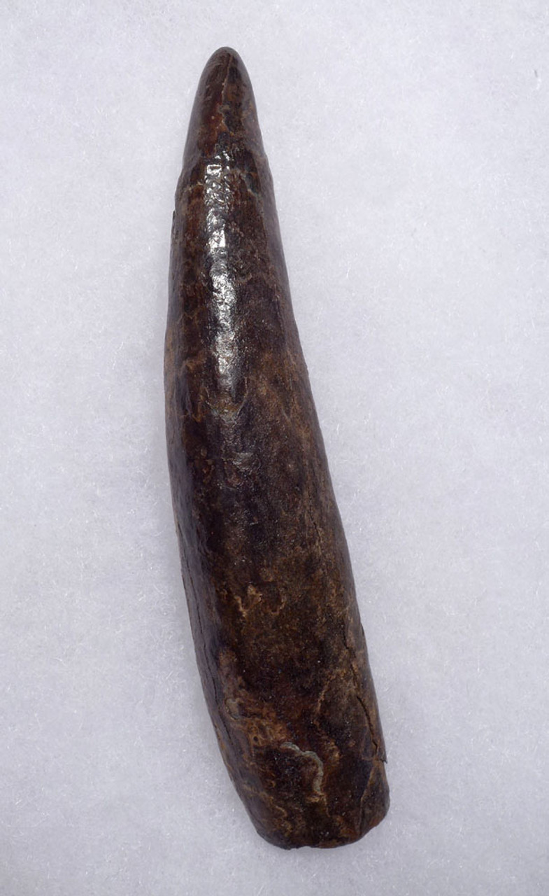 LARGE PYGMY DWARF SPERM WHALE FOSSIL TOOTH OUR LARGEST FINEST AND LAST  *WH058