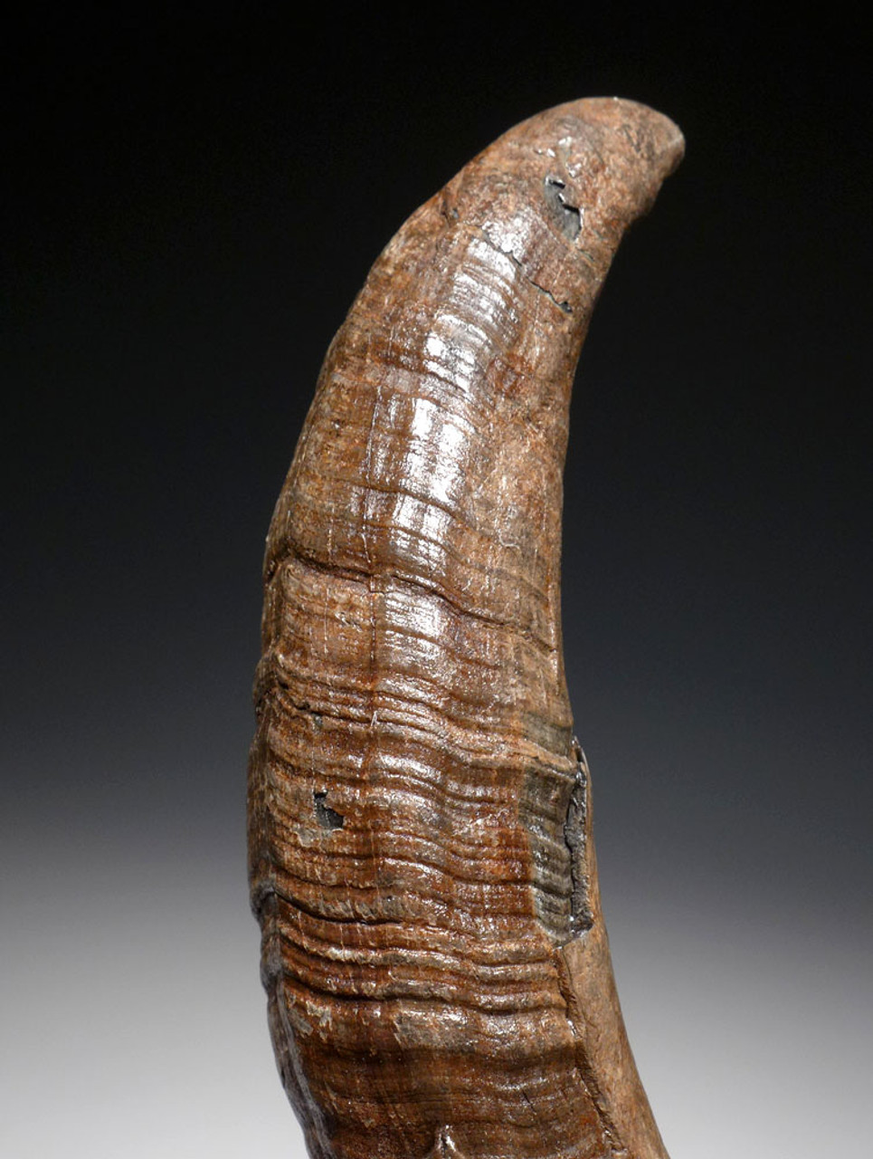 PATHOLOGICALLY DEFORMED LARGE FOSSIL SPERM WHALE TOOTH FROM A VERY OLD WHALE  *WH052