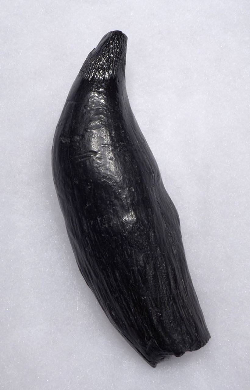 EXCEPTIONAL LARGE COMPLETE FOSSIL SPERM WHALE TOOTH WITH MEGALODON SHARK BITE  *WH054