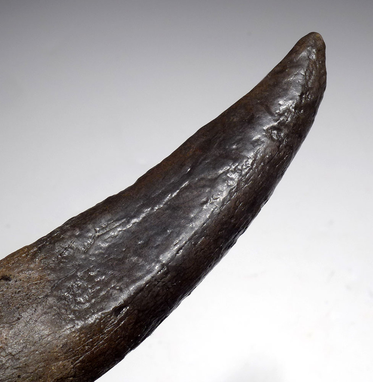 OUR FINEST AND LARGEST FOSSIL SPERM WHALE TOOTH EVER!  *WH055