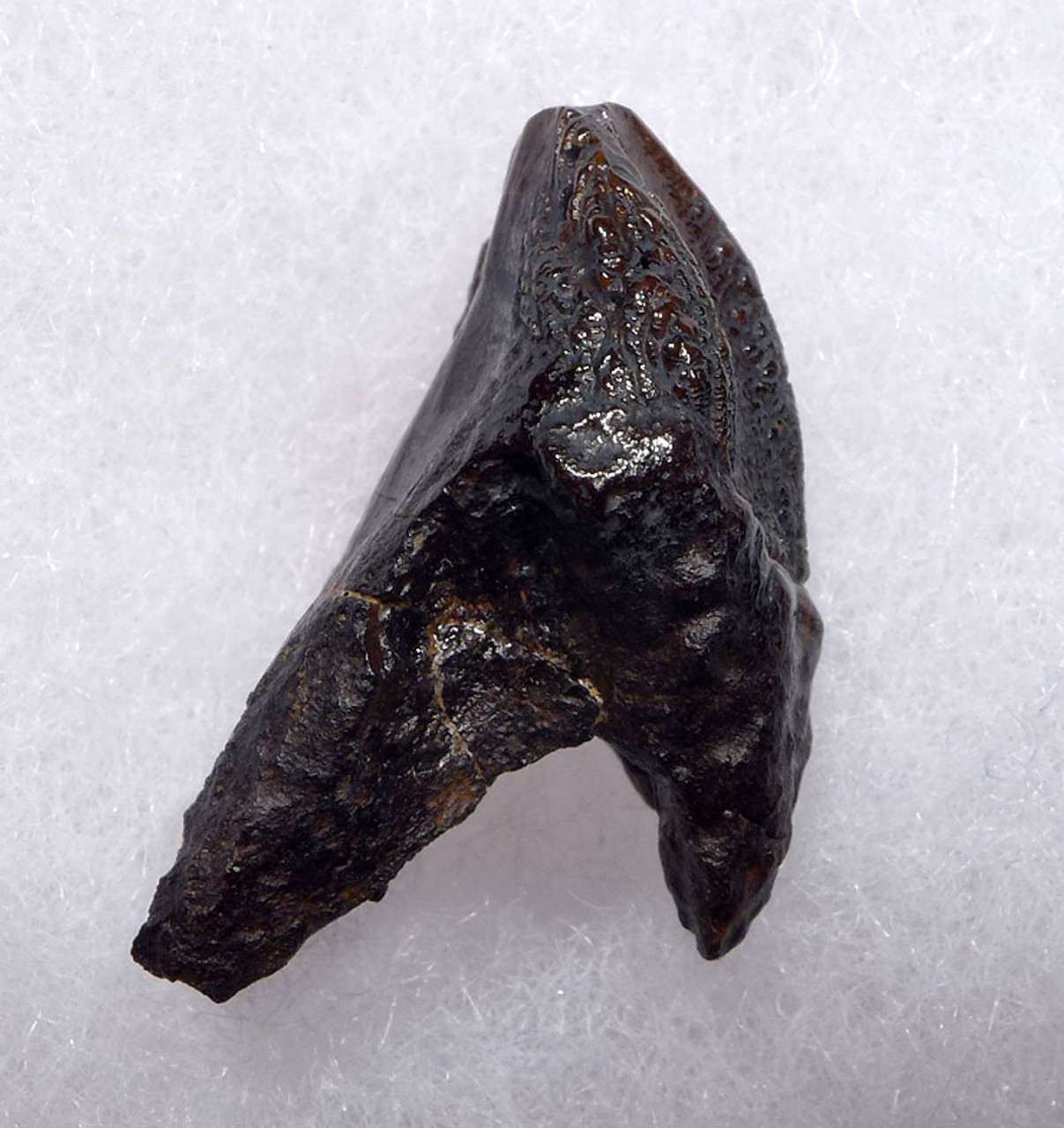 FINEST LARGE TRICERATOPS DINOSAUR TOOTH WITH UNWORN CROWN AND ROOT  *DT19-048