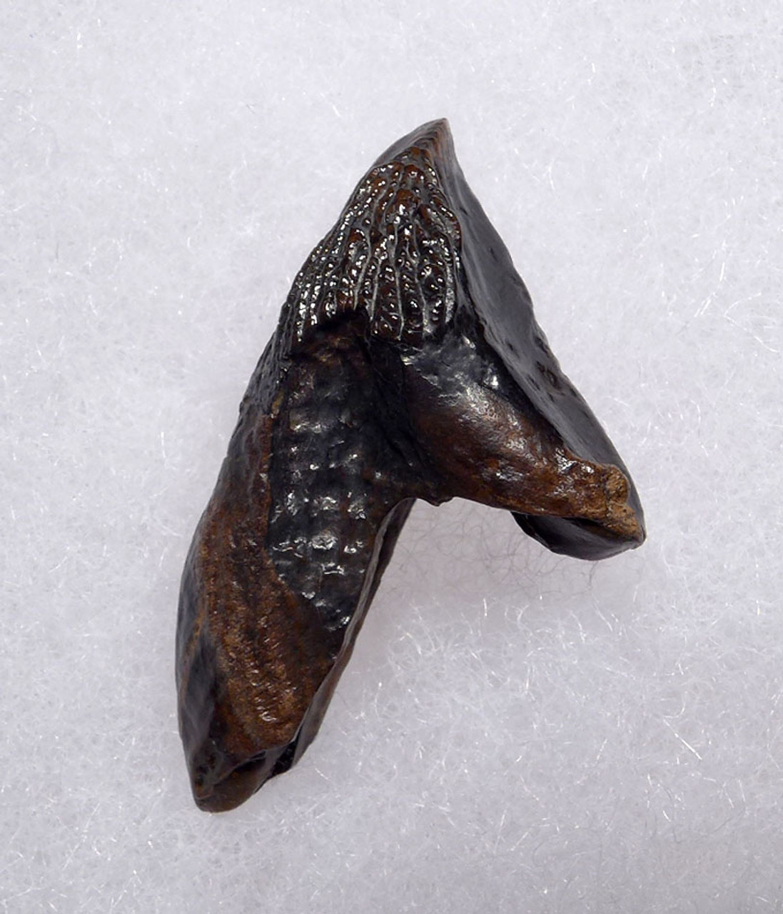 FINEST LARGE TRICERATOPS DINOSAUR TOOTH WITH UNWORN CROWN AND ROOT  *DT19-047