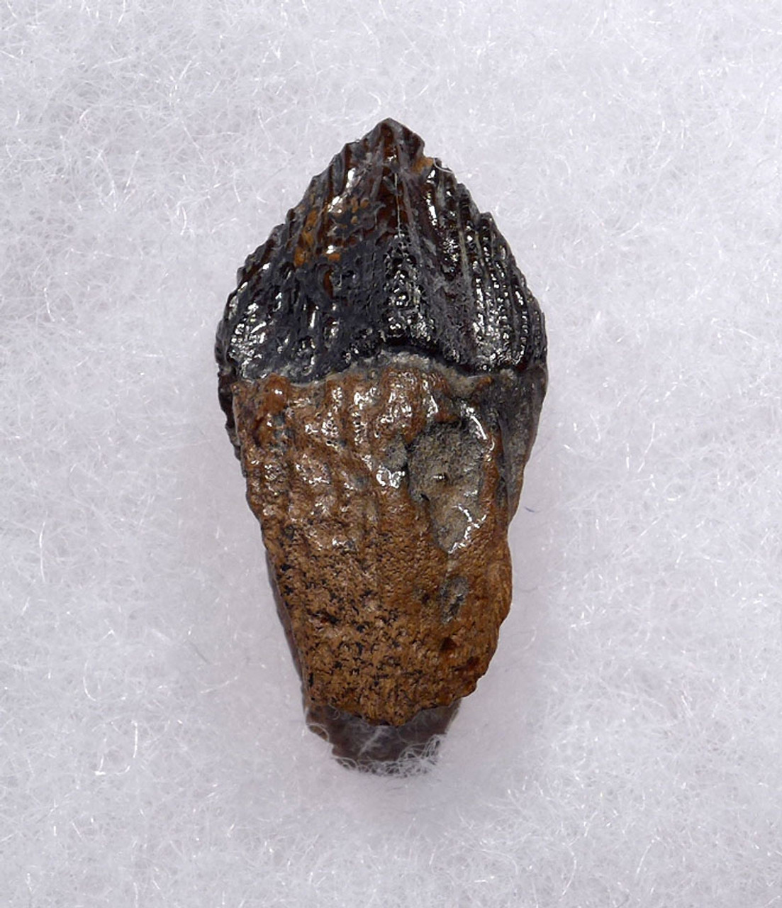 FINEST TRICERATOPS DINOSAUR TOOTH WITH UNWORN CROWN AND FORKED ROOT  *DT19-046