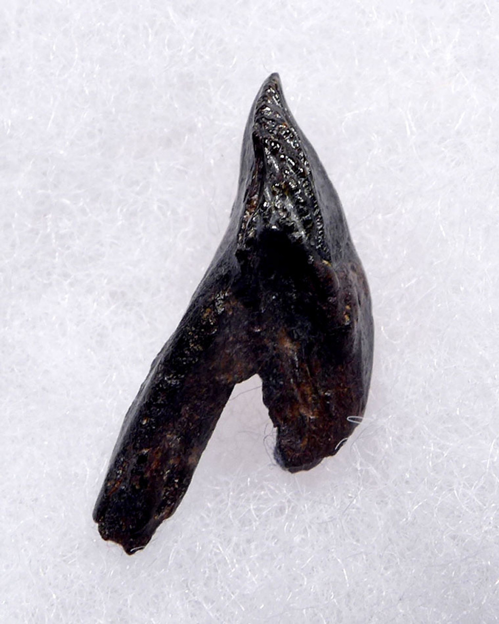 FINEST BABY TRICERATOPS DINOSAUR TOOTH WITH UNWORN CROWN AND FORKED ROOT  *DT19-049X