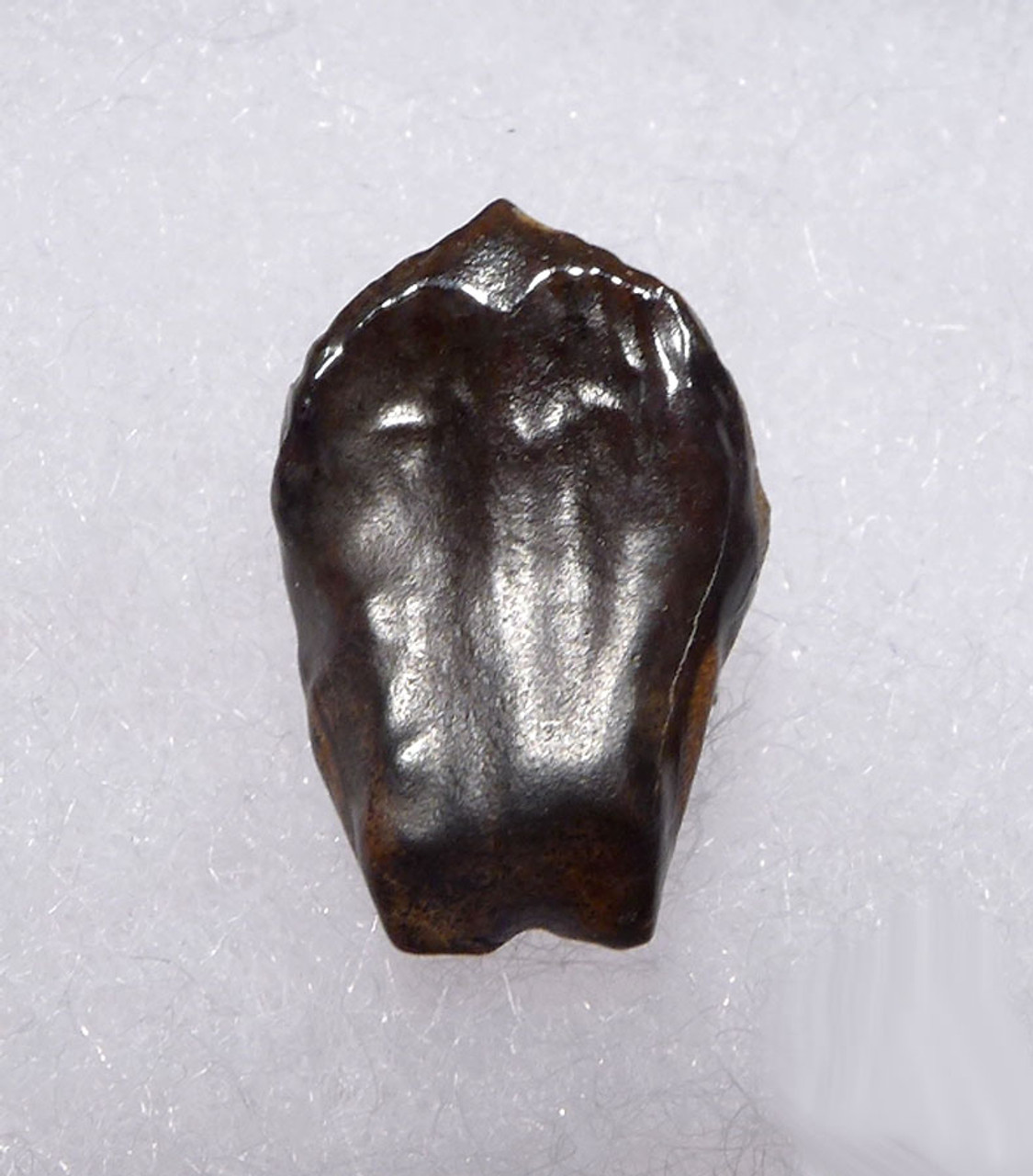 BABY TRICERATOPS DINOSAUR TOOTH FULL CROWN PARTIAL ROOT  *DT19-045X