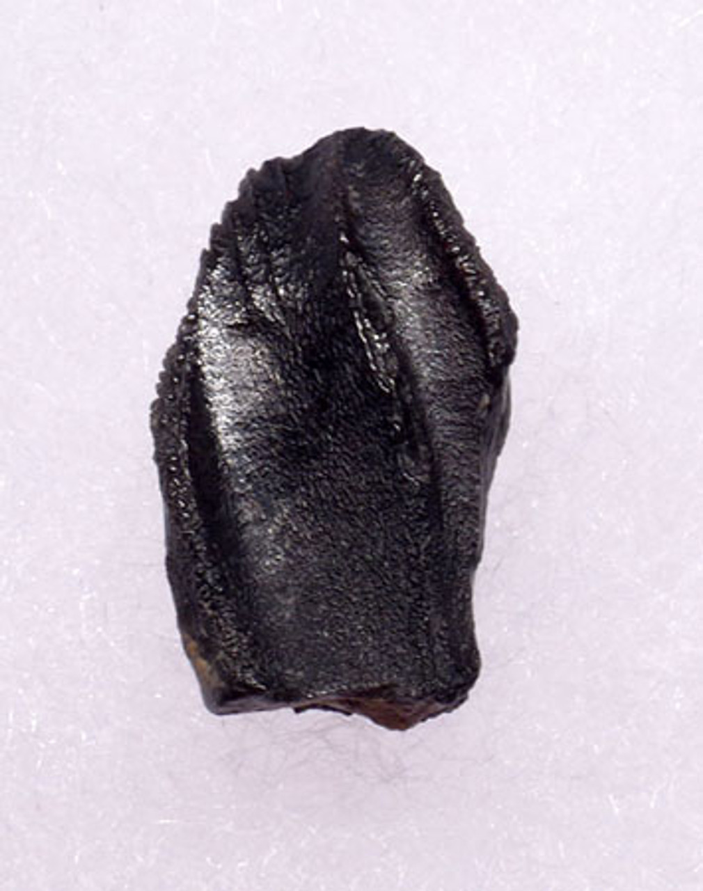 RARE FINE GRADE BRACHYLOPHOSAURUS HADROSAUR DINOSAUR TOOTH  *DT7-027