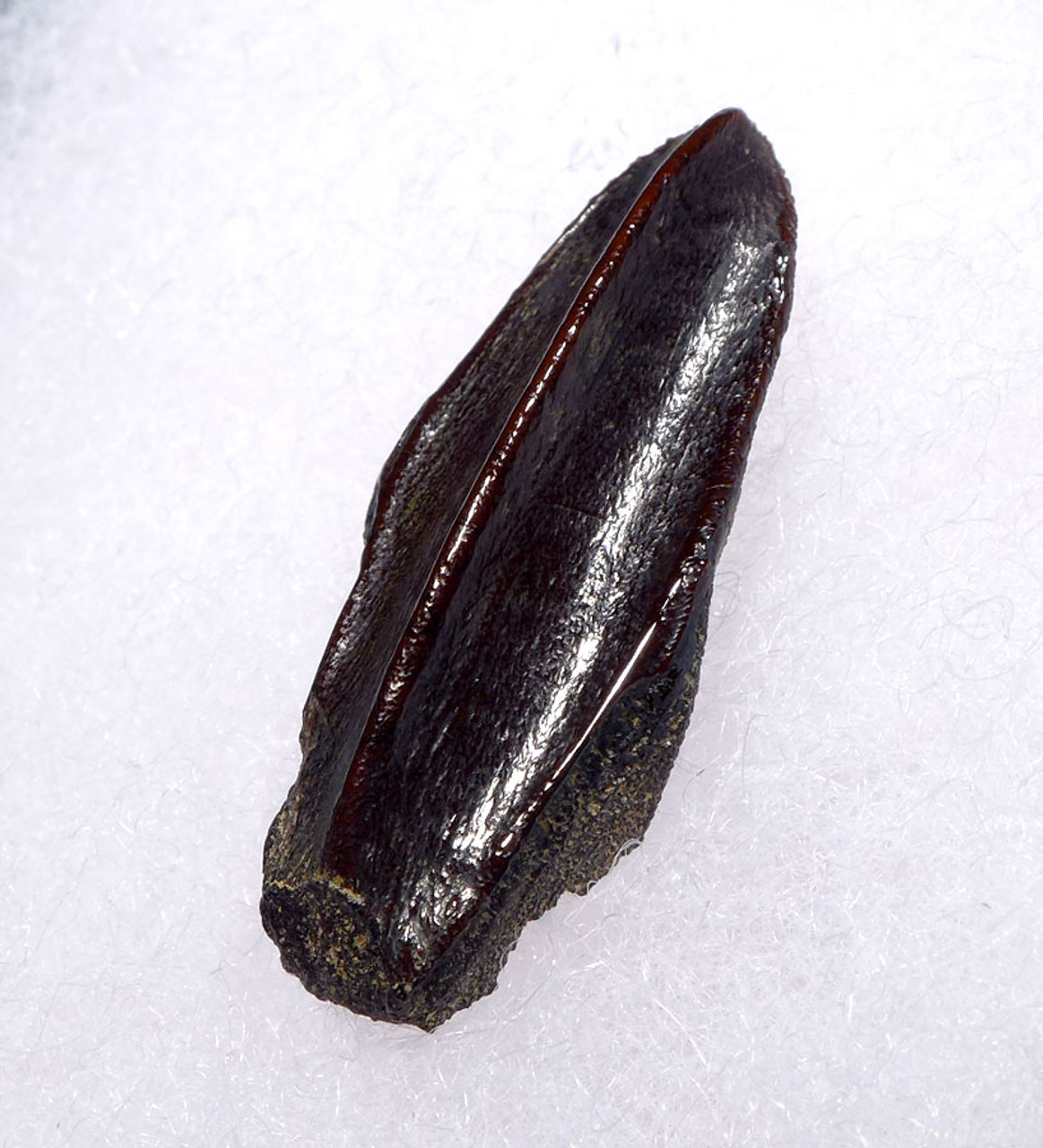 LARGE CHOICE FOSSIL HADROSAUR DINOSAUR TOOTH FROM THE LANCE FORMATION *DT7-017